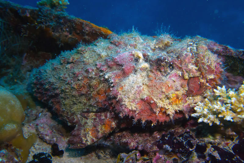 Stonefish na statku wraku fotografia royalty free