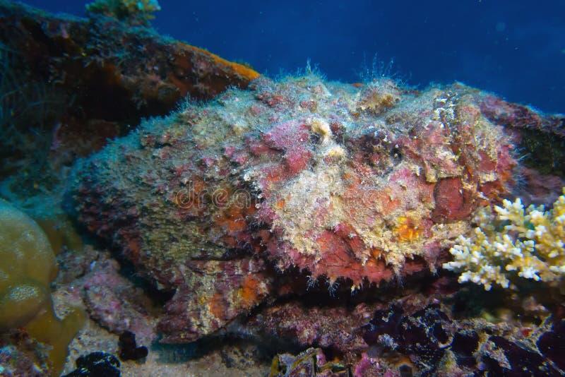 Stonefish sur une épave de bateau photographie stock libre de droits