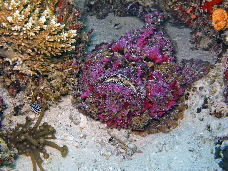 Stonefish (verrucosa de Synanceia) image stock