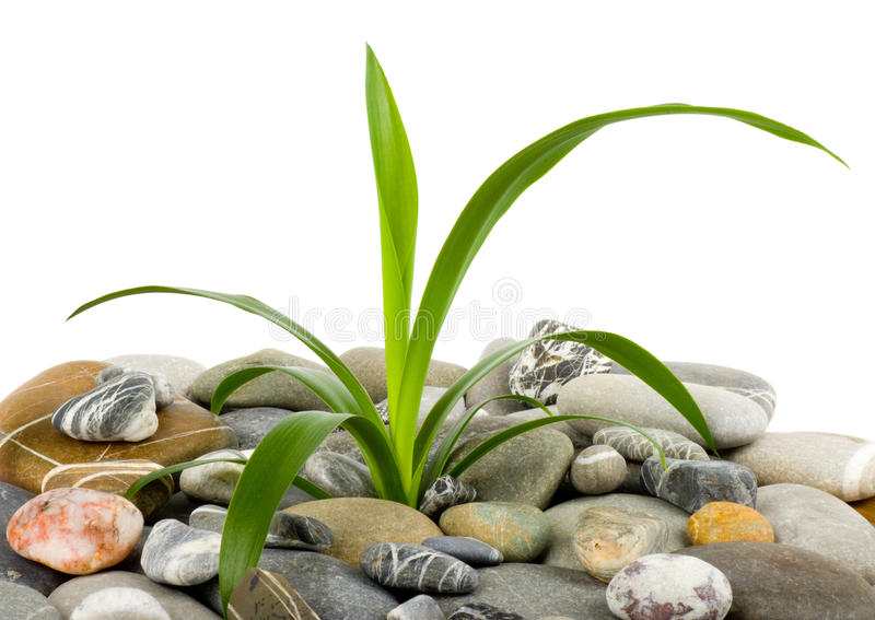Download Stones and green plant stock photo. Image of herbal, massage - 23825738