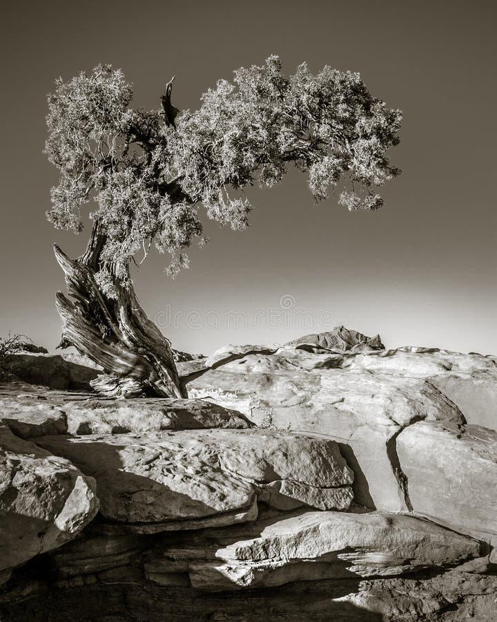 Stonowana fotografia drzewo przy Nieżywego konia punktu stanu parkiem fotografia royalty free