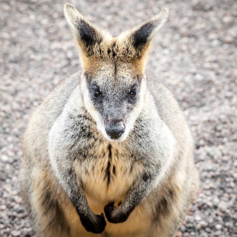 Stonowany wizerunek Marudny bagna Wallaby obsiadanie zdjęcie stock