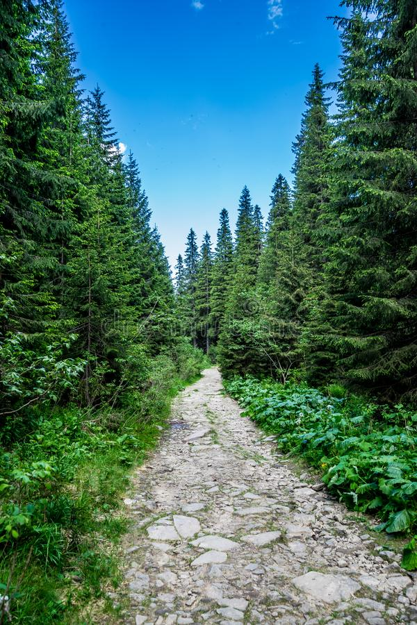 Stony path in the coniferous forest royalty free stock photo
