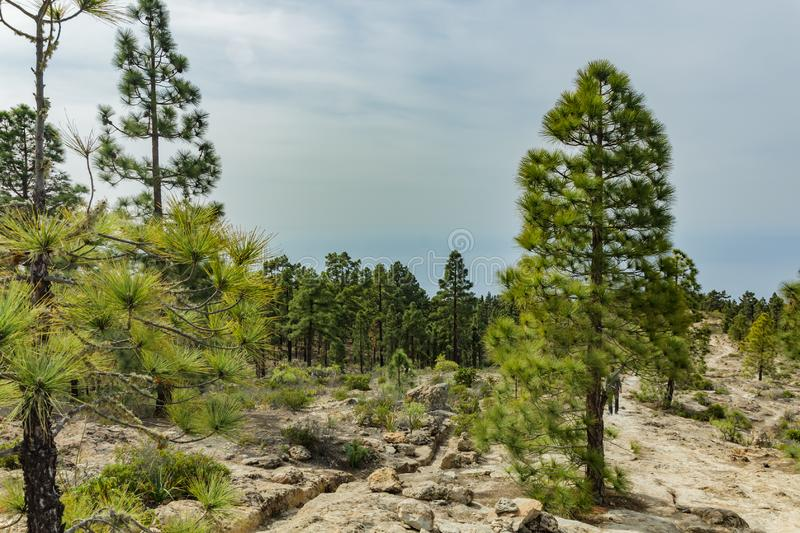 Stony path at upland surrounded by pine trees at sunny day. Clear blue sky and some clouds along the horizon line. Rocky tracking. Road in dry mountain area royalty free stock photo