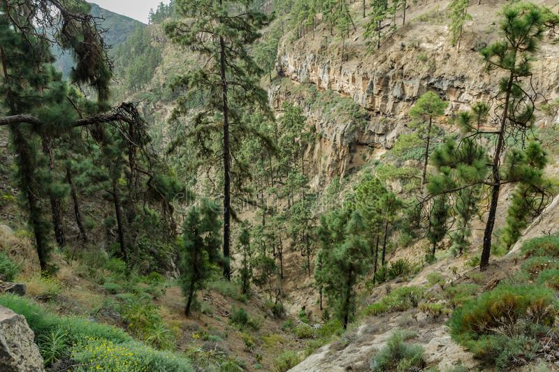 Stony path at upland surrounded by pine trees at sunny day. The slopes of a narrow deep gorge covered with centuries-old pines. stock photography