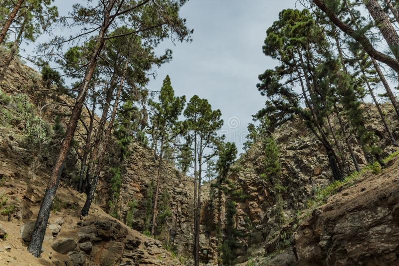 Stony path upland surrounded by pine trees at sunny day. The slopes of a narrow deep gorge covered with centuries-old pines. Rocky stock photos