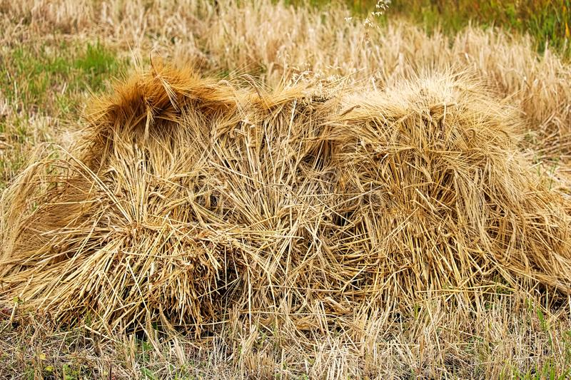 A stook of barely piled together for harvest.  stock photography