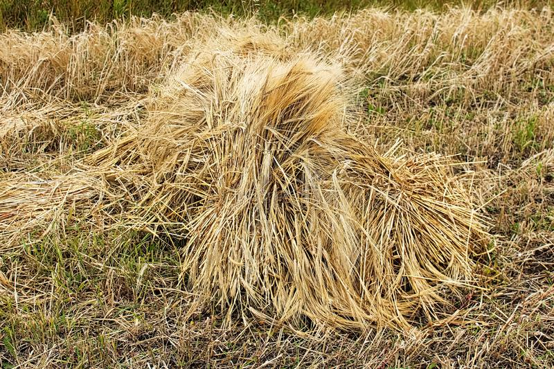 A stook of barely piled together for harvest.  stock photo