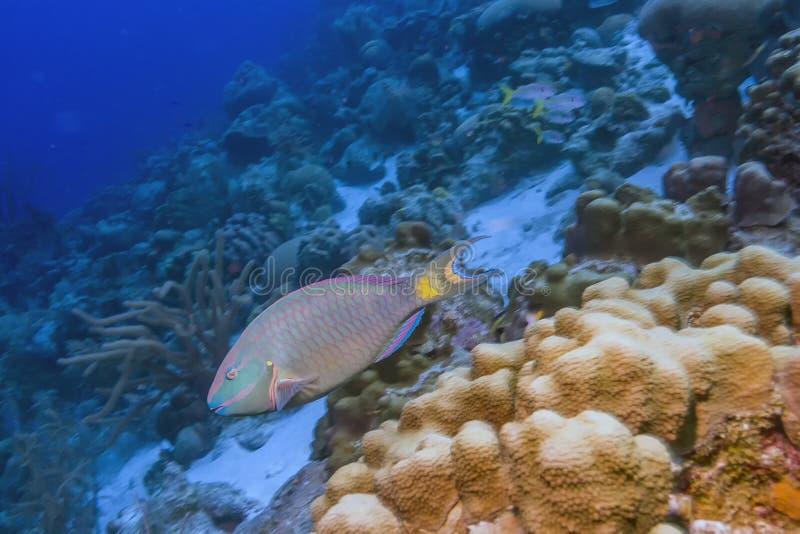 Stoplight parrotfish,Sparisoma viride. Is a species of parrotfish inhabiting coral reefs in Florida, Caribbean Sea stock images