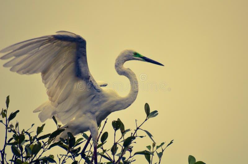 Stor ägretthäger i mangroveskog royaltyfri fotografi