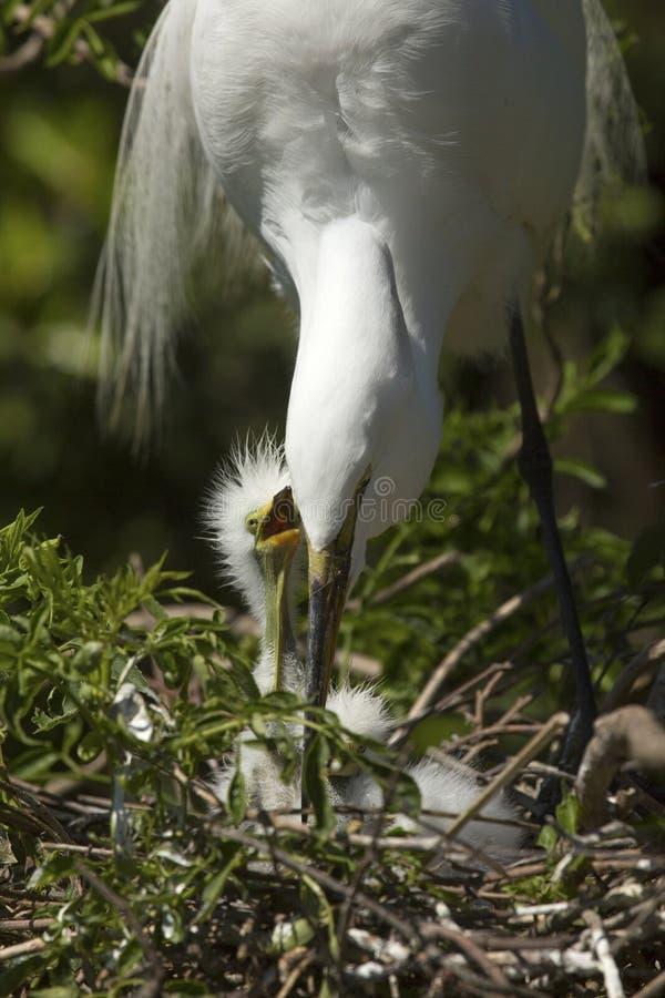 Stor ägretthäger med fågelungar i ett Florida rede arkivbilder