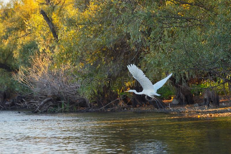 Stor ägretthäger på Donaudelta royaltyfri fotografi