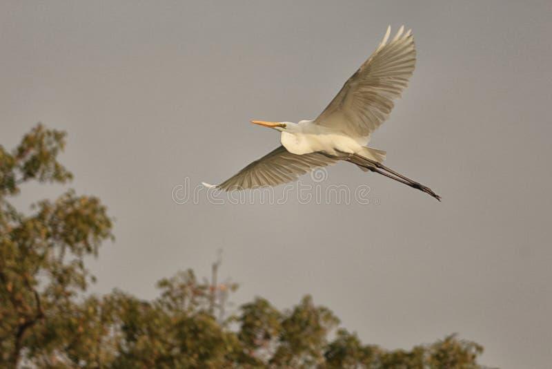 Stor ägretthäger som bort flyger fotografering för bildbyråer