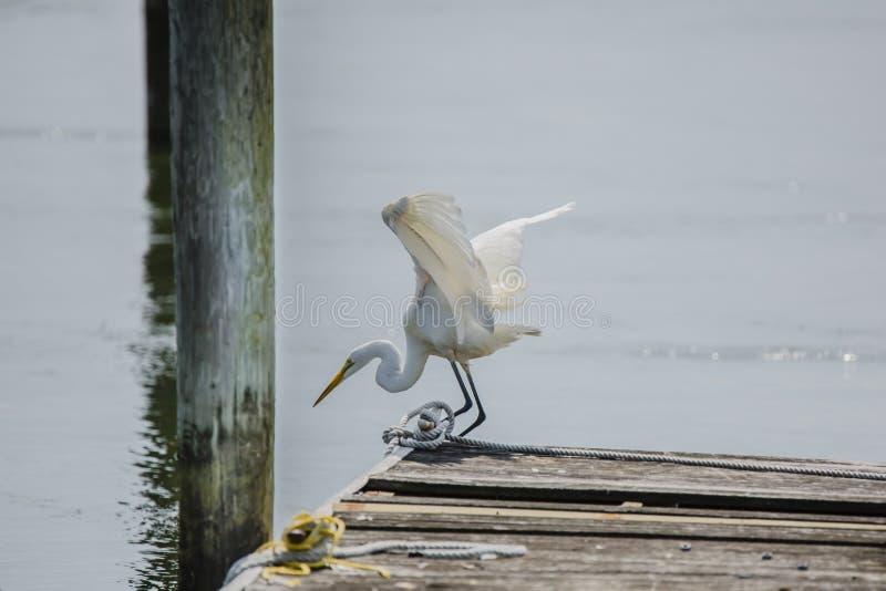 Stor ägretthäger som förbereder sig till Dive Off Pier arkivbilder