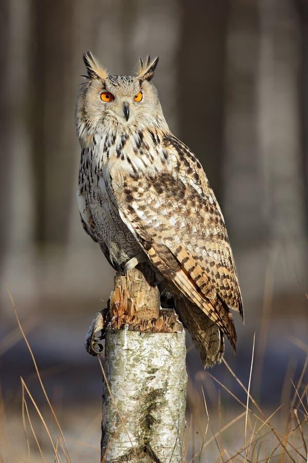 Stor östlig Siberian Eagle Owl, Bubobubosibiricus som sitter på träd i skogen arkivbild