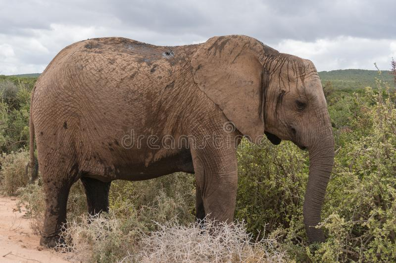 Stor afrikansk elefant i afrikansk savannah fotografering för bildbyråer