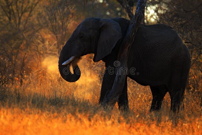 Stor afrikansk elefant, med aftonsolen, tillbaka ljus, djur i naturlivsmiljön, Tanzania fotografering för bildbyråer