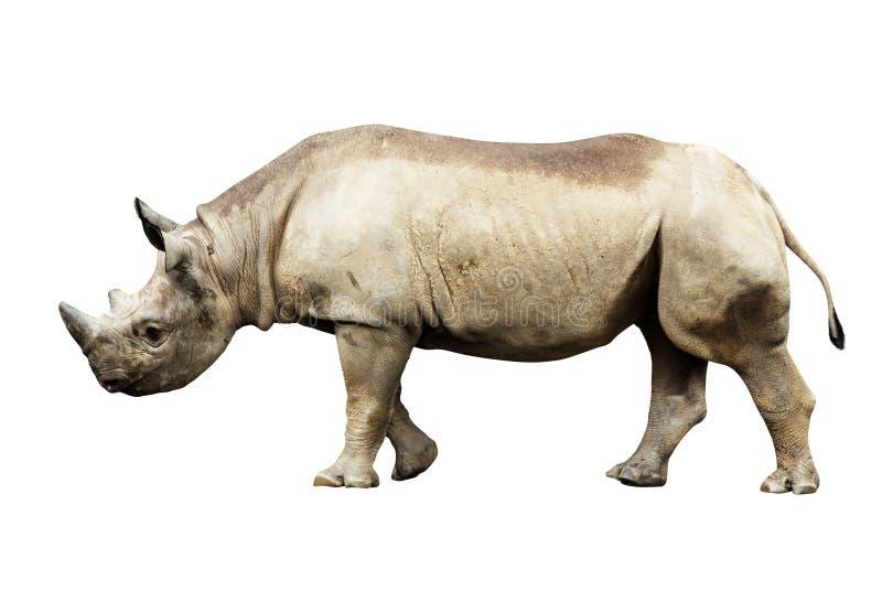 Stor afrikansk noshörning som isoleras på en vit bakgrund royaltyfria foton