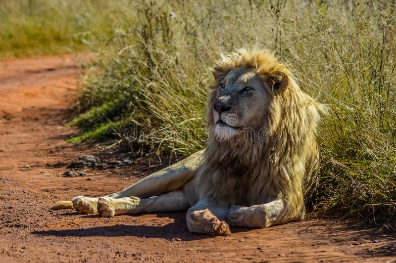 Stor afrikansk vit lejonstolthet i nosh?rning- och lejonnaturreserv i Sydafrika royaltyfri bild