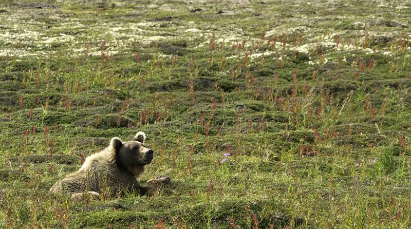 Stor alaskabo björn som vilar i ett grönt fält i Katmai arkivfoton