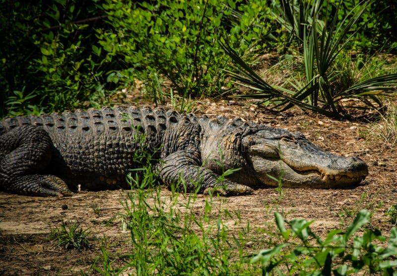 Stor alligator arkivbild