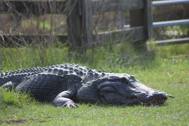 stor alligator fotografering för bildbyråer