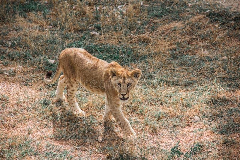 Stor allvarlig kattunge royaltyfria bilder