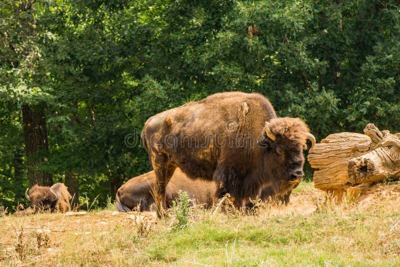 Stor amerikansk bison - bisonbison arkivbilder