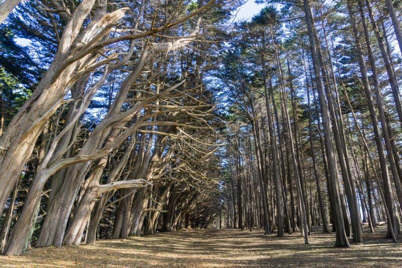 Stor bana i en skog för cypressträd, Fitzgerald Marine Reserve, Moss Beach, Kalifornien royaltyfria bilder