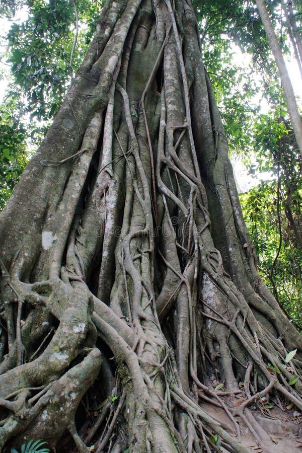 Stor Banyan Trey som växer i den Laos nationalparken royaltyfri fotografi