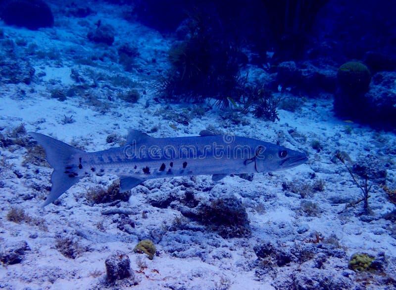 Stor barracuda, Bonaire, karibiskt hav royaltyfria foton