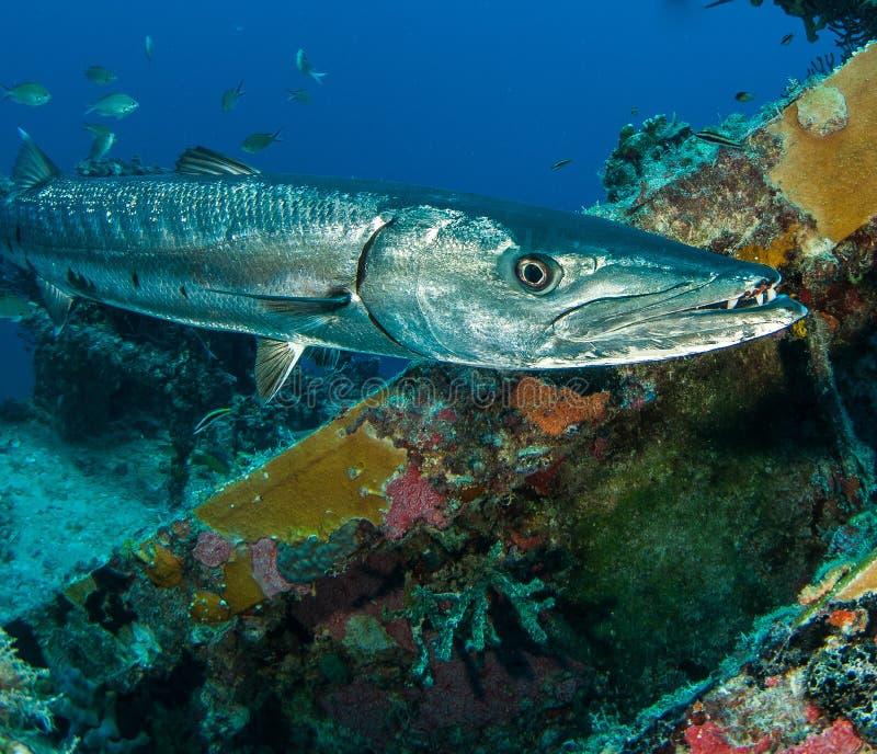 Stor barracuda, Sphyraenabarracuda, på den Spiegel dungehaveriet arkivbilder
