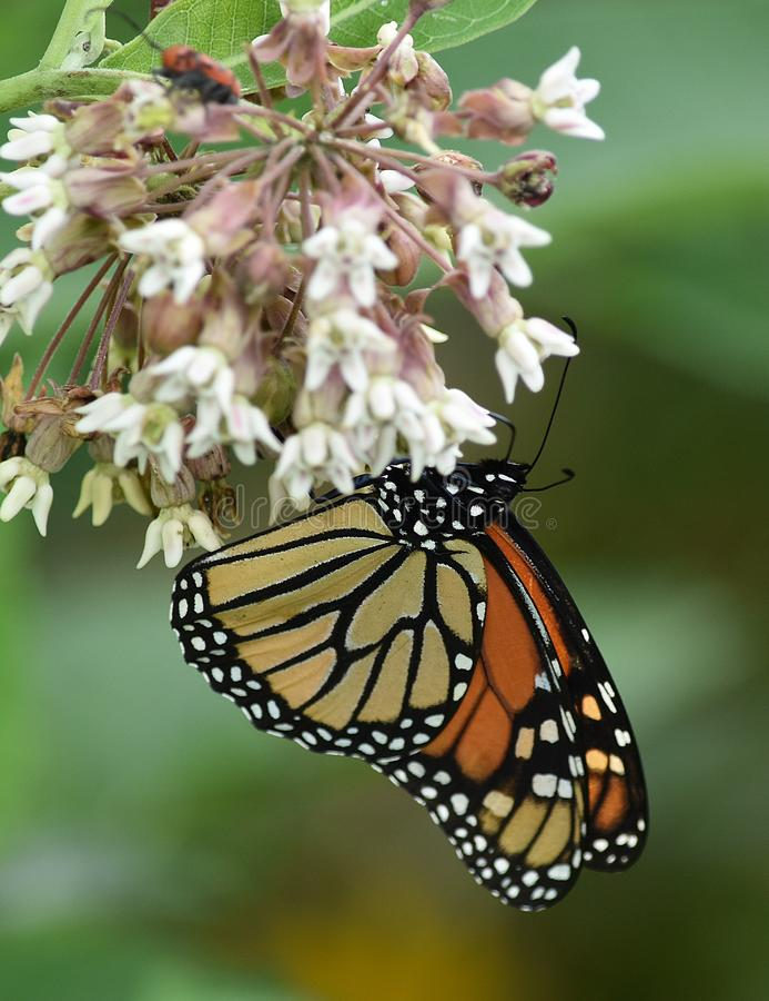 Stor beroende monarkfjäril arkivbilder