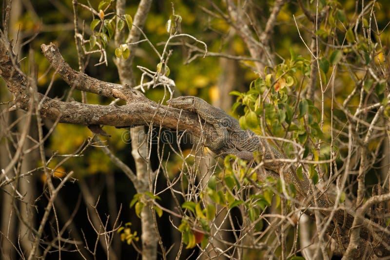 Stor bildskärmödla i Sundarbans i Indien royaltyfri foto