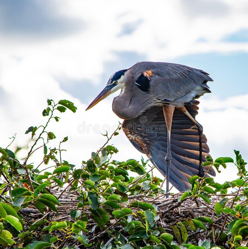 Stor blå häger som fördelar en vinge royaltyfri foto