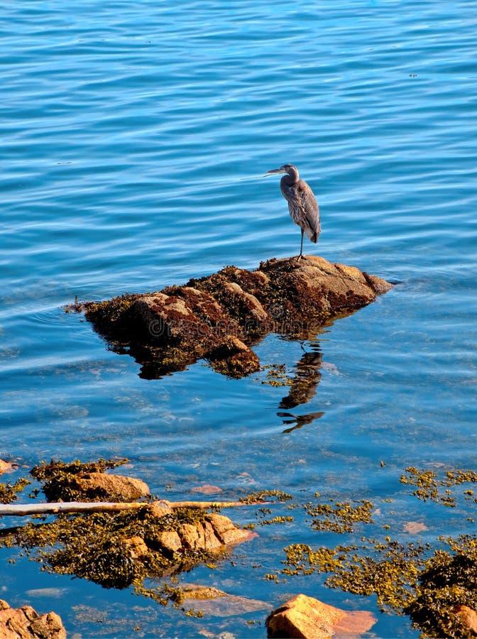 Stor blå häger som fiskar på den steniga kusten arkivbilder