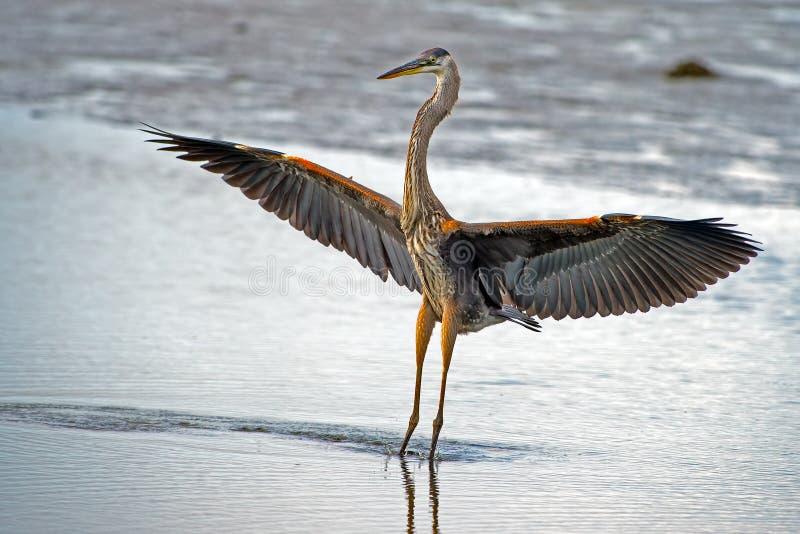 Stor blå Heron royaltyfri fotografi