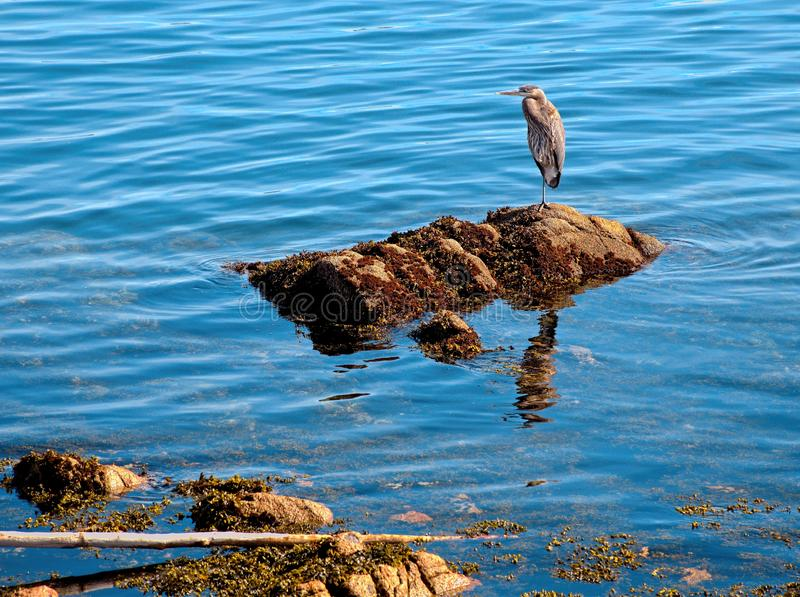 Stor bl? h?ger som fiskar p? den steniga kusten royaltyfri bild