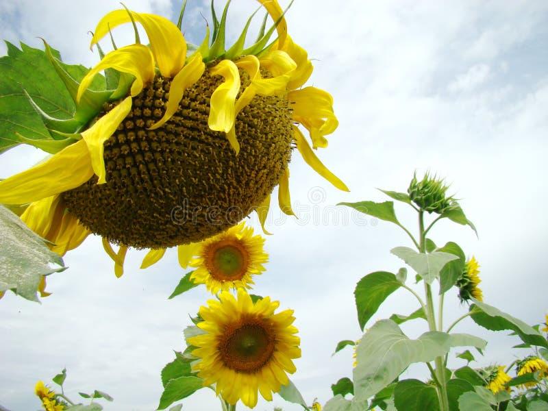 Stor blomma av solrosen royaltyfria foton