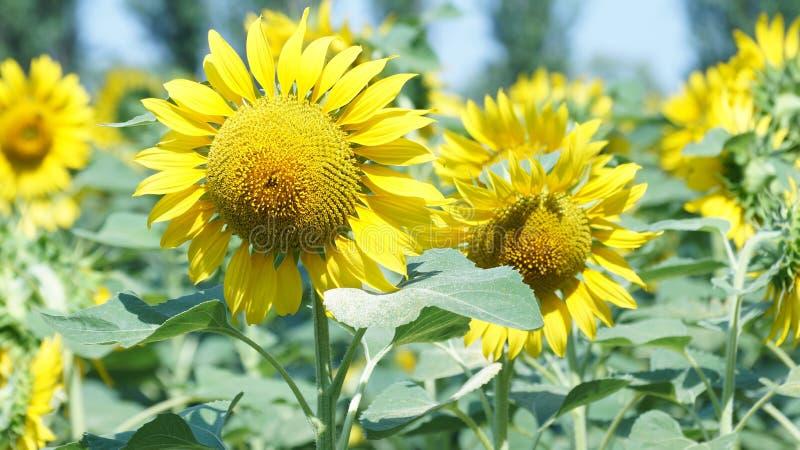 Stor blomma av solrosen royaltyfri bild