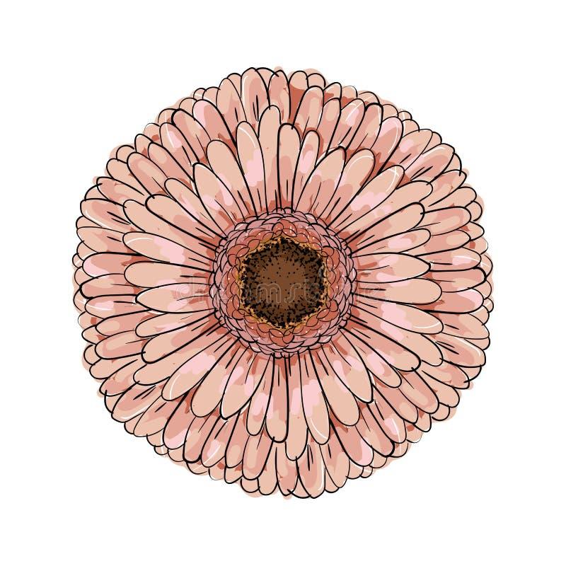 Stor blommande dammig rosa Gerberablomma Hand dragen illustrationvektor Skissar den realistiska svartvita hand-drog bilden för ve vektor illustrationer