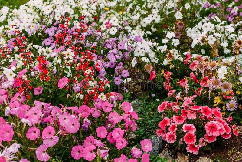 Stor blomsterrabatt av färgrika blomma petunior royaltyfri bild