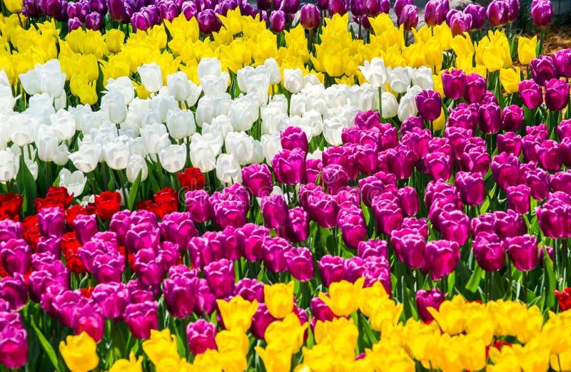 Stor blomsterrabatt med för guling, vita och röda tulpan för lila, i parkera arkivbild