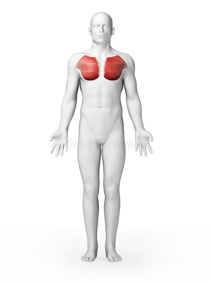 Stor bröstmuskel stock illustrationer. Illustration av muskel - 30723423