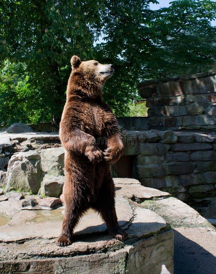 stor brown för björn royaltyfri fotografi