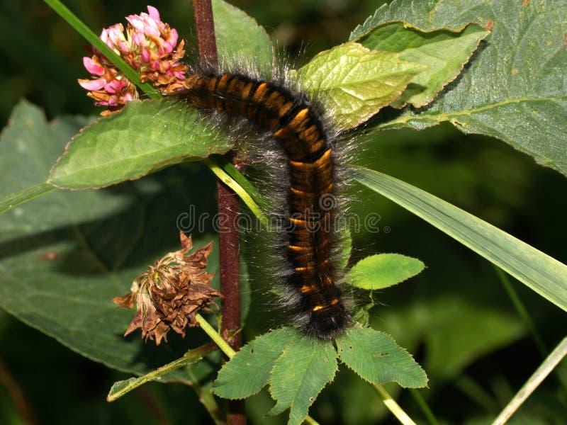 Stor brun hårig larv på växten Macrothylacia rubi, rävmalen royaltyfri foto