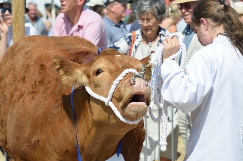 Stor brun ko som ställs ut på den jordbruks- showen royaltyfri fotografi