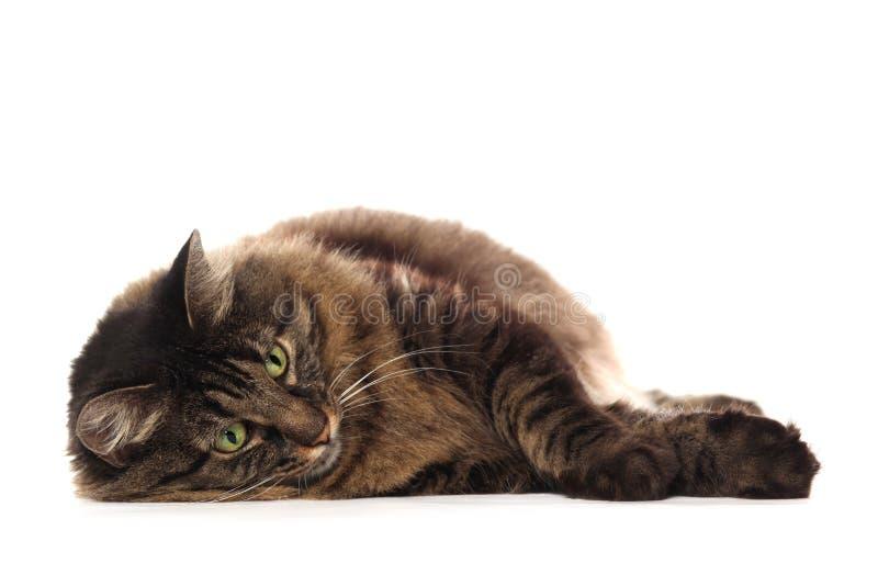 Stor brun Maine Coon katt som isoleras royaltyfri foto