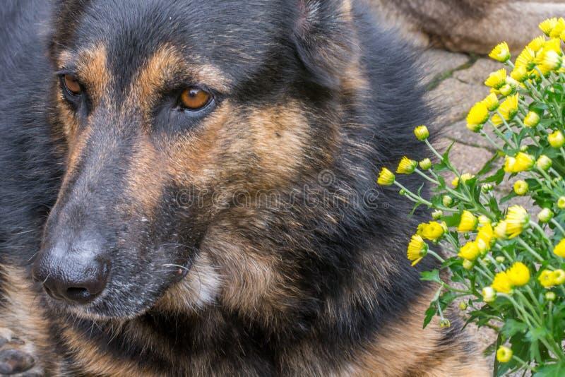 Stor brun svart hund med gula blommor royaltyfri fotografi