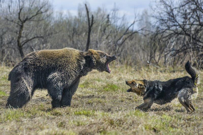 Stor brunbjörn med hunden royaltyfria foton